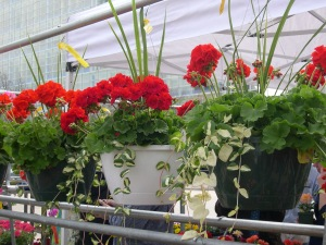 beautiful containers of geraniums