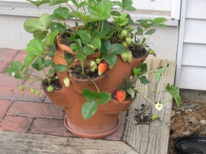 strawberries in the strawberry pot