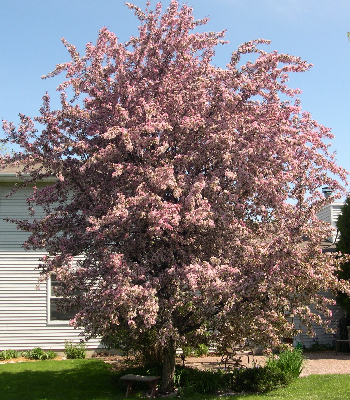 Backyard Trees For Privacy : the best features in our yard is this large flowering crab apple tree