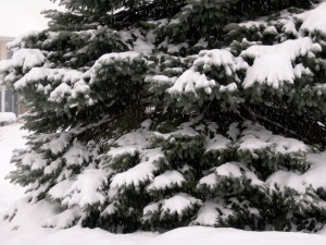 Snowy Spruce on C-Eve