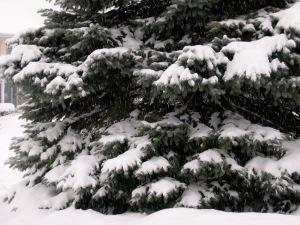 Snowy Spruce on C-Eve