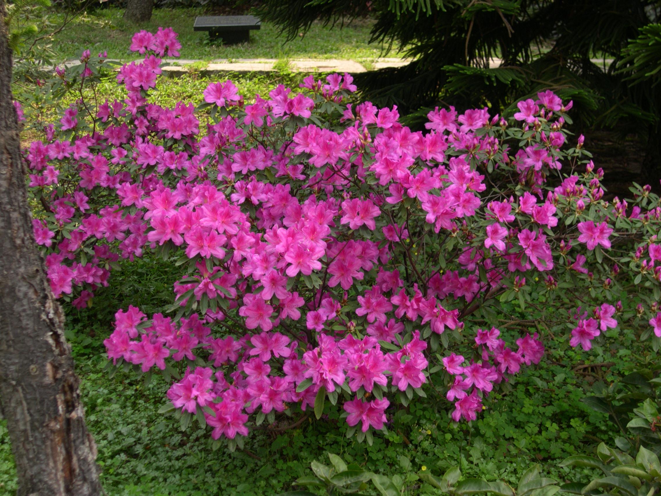 Rosy lights azalea bushes for The azalea