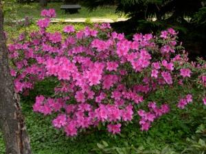 azalea bush