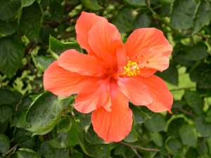 double hibiscus flower