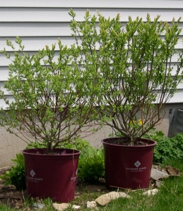 willow shrubs