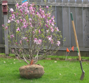 magnolia tree ready to plant