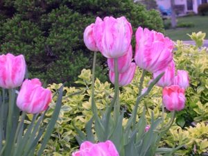 new pink and white tulips