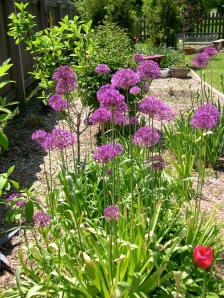Allium forest