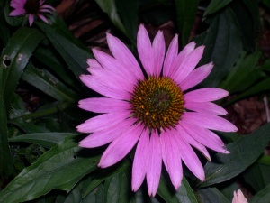 a pink coneflower