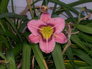 a pink lily
