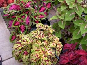 coleus plants at the market