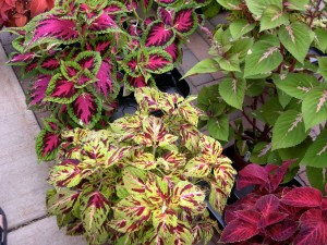 coleus plants at the market