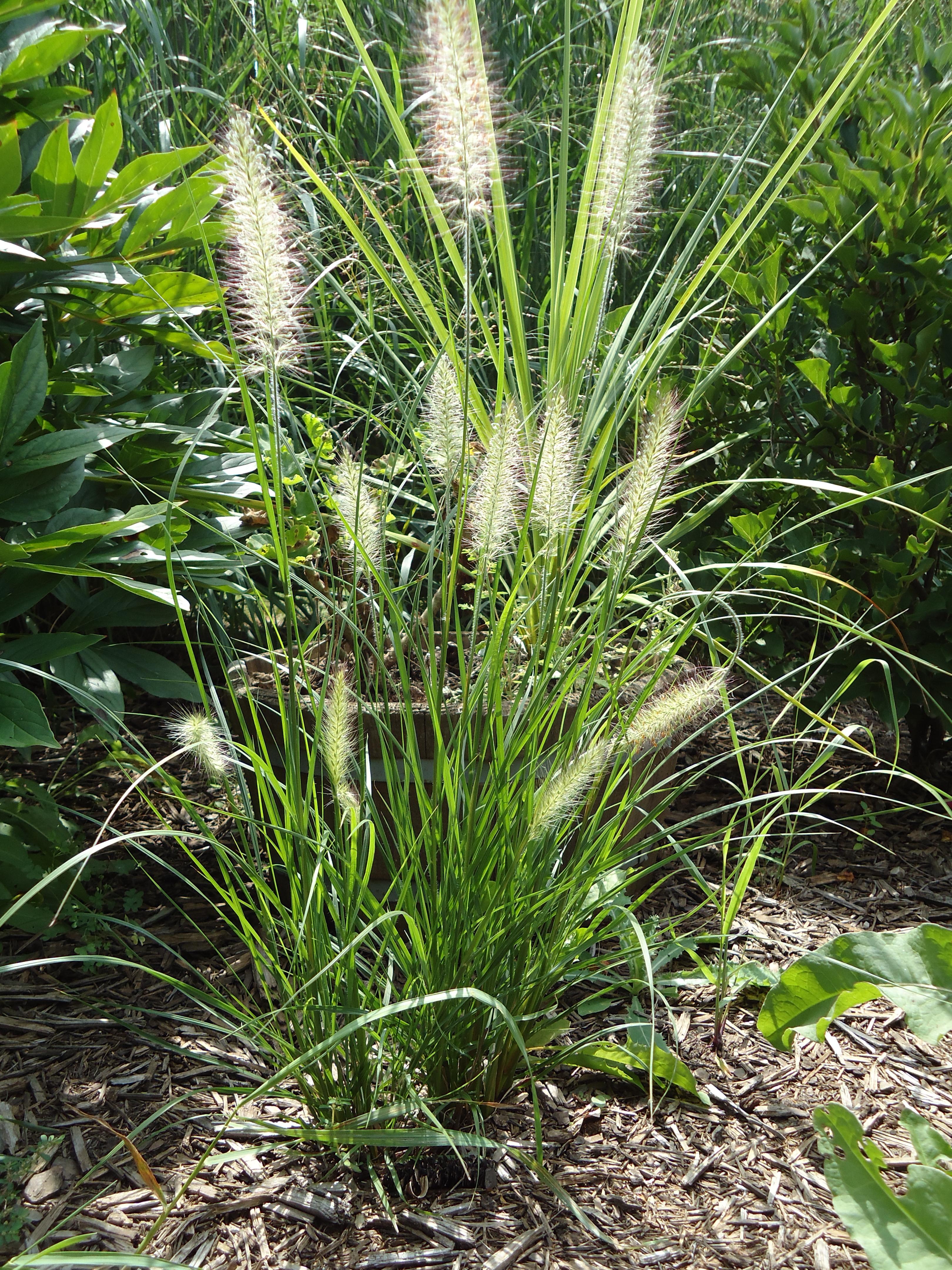 Ornamental grasses terri 39 s notebook for Low ornamental grasses