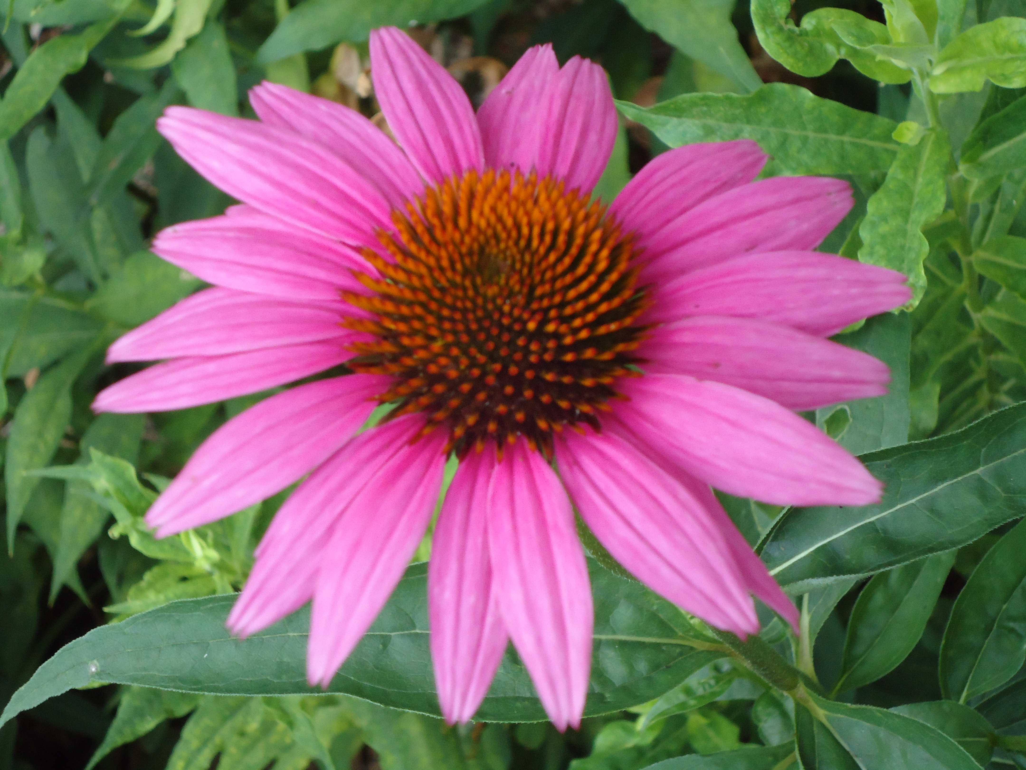 Coneflower terris notebook pink colored coneflower gorgeous i mightylinksfo