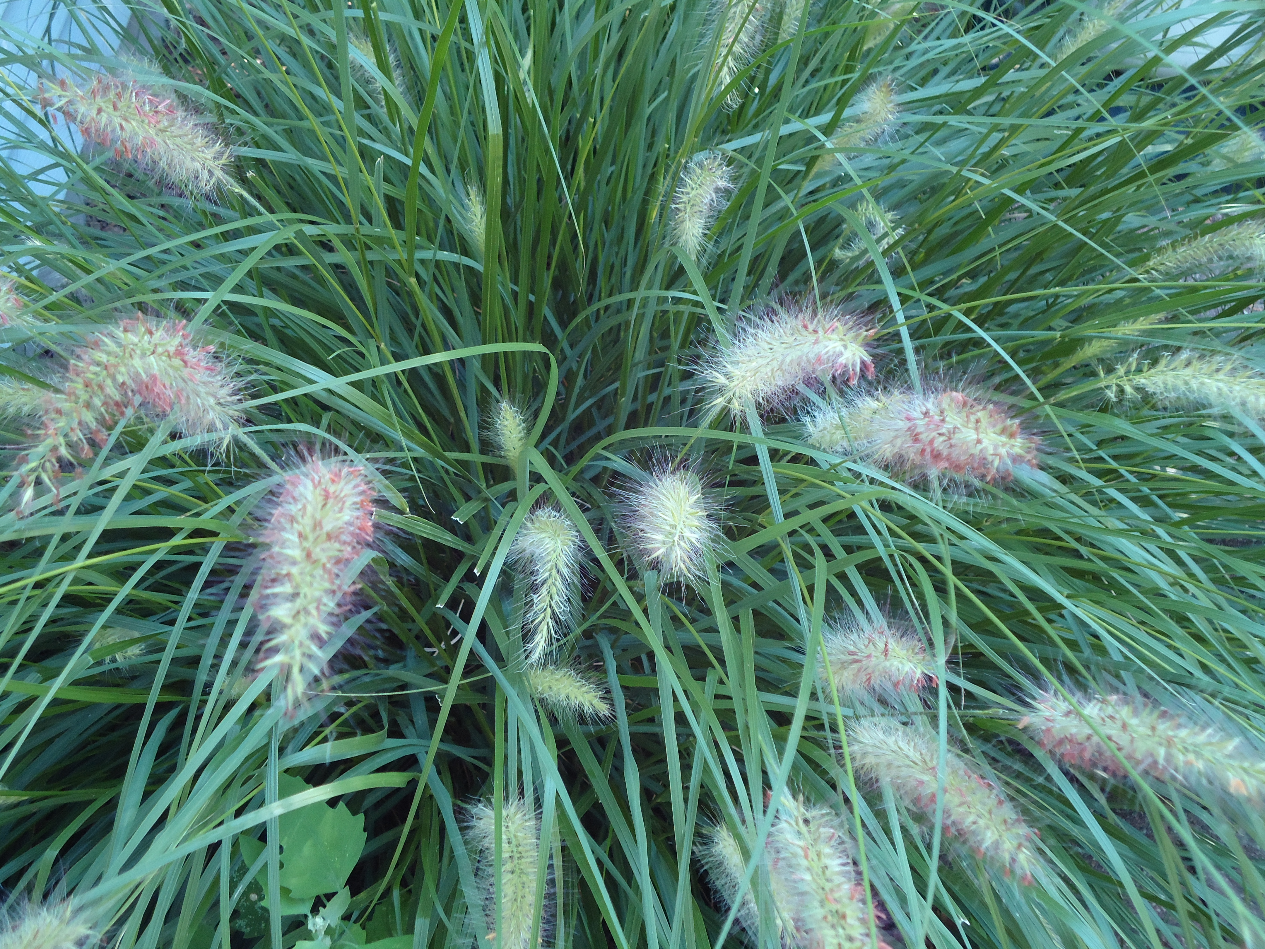 Ornamental grass terri 39 s notebook for Ornamental grasses that bloom