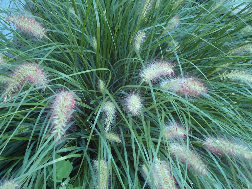 Ornamental grass terri 39 s notebook for Low ornamental grasses