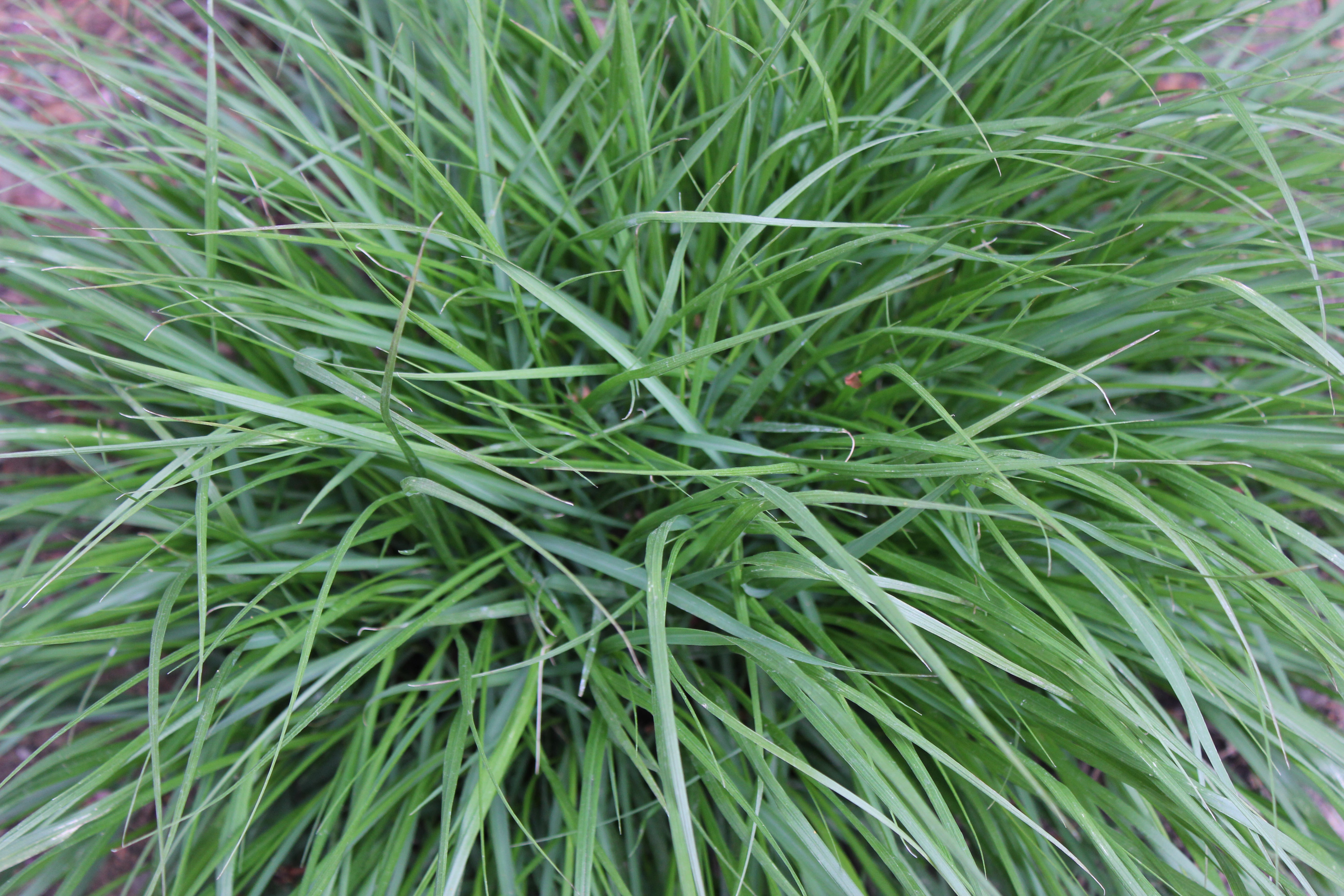 Green terri 39 s notebook for Green ornamental grass