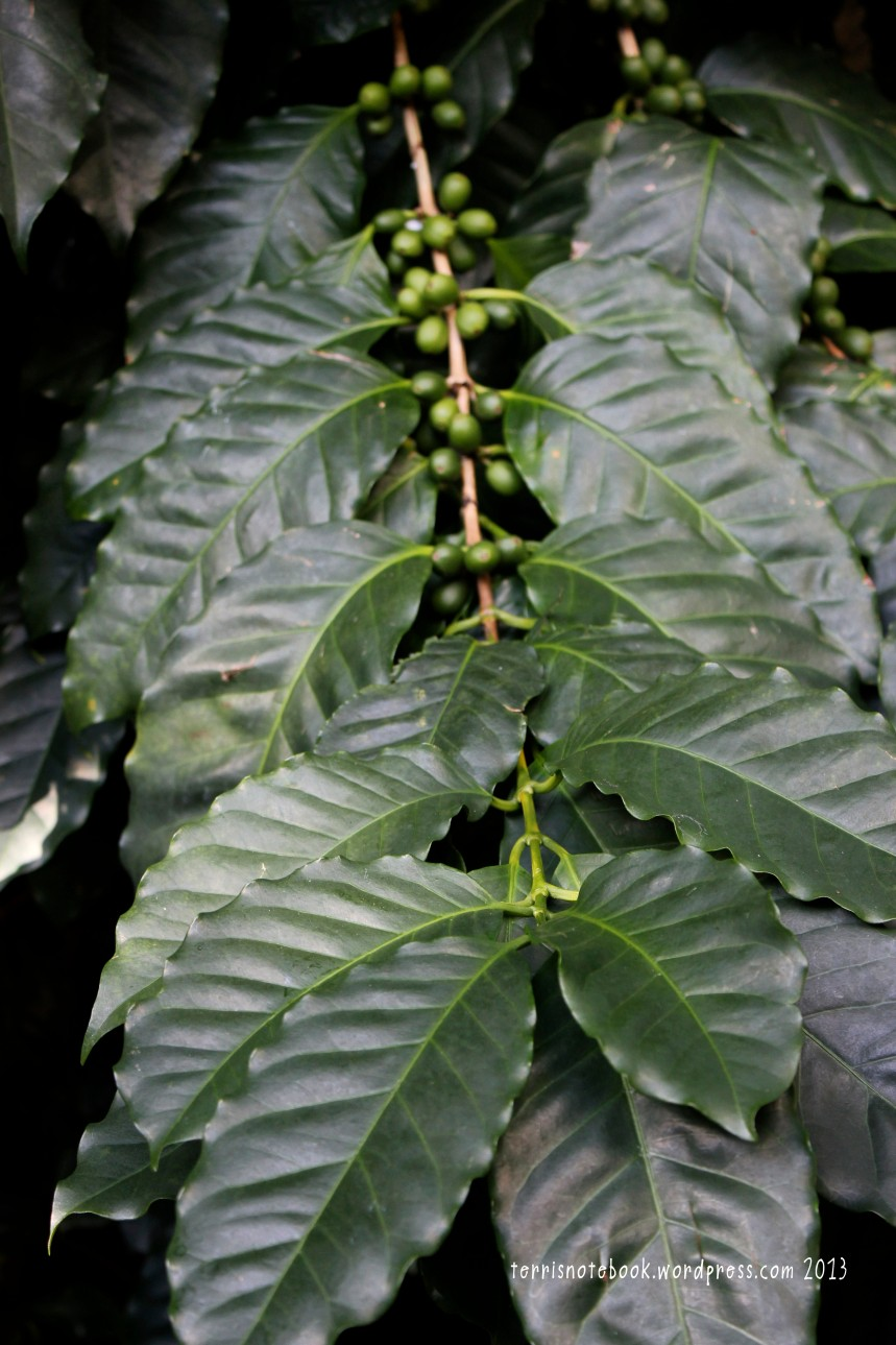 Olbrich coffee plant