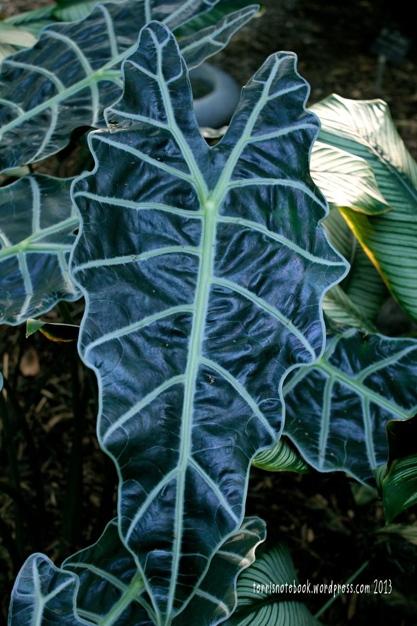 Olbrich ruffly leaf