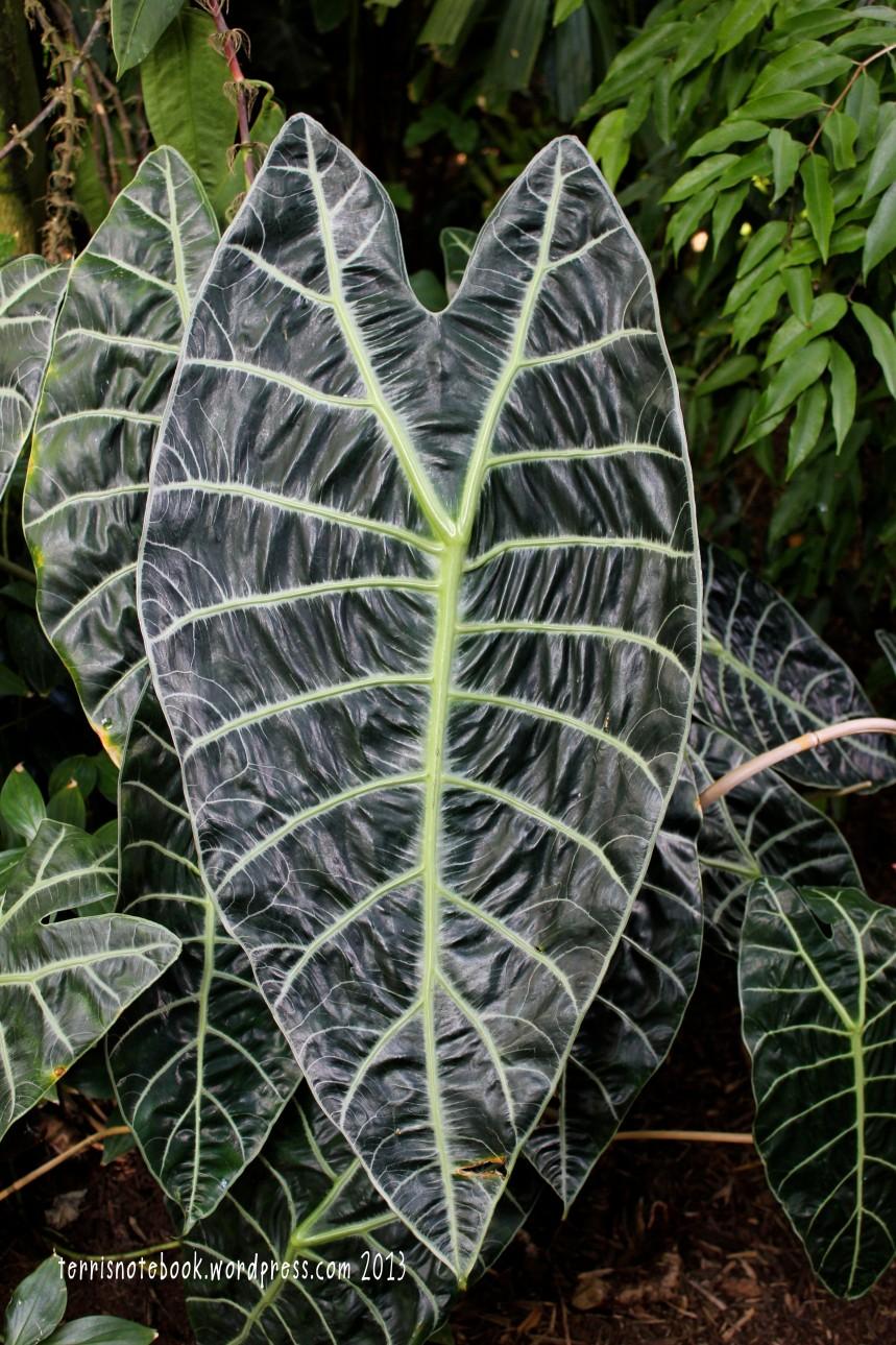 Olbrich wrinkly leaf