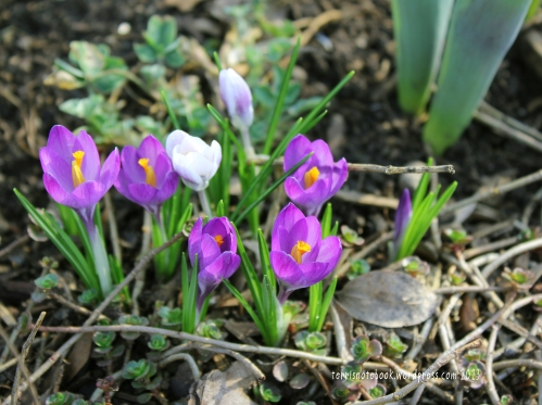 crocus early 2012