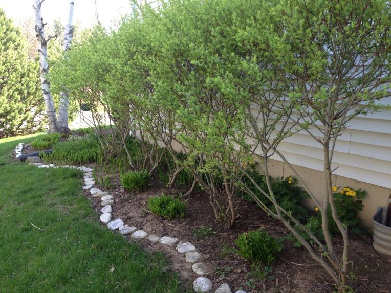 Willow shrubs