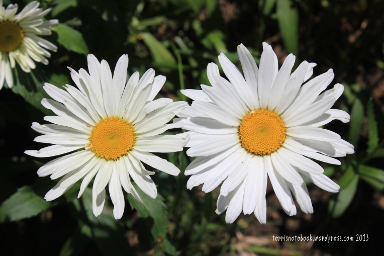 June daisies