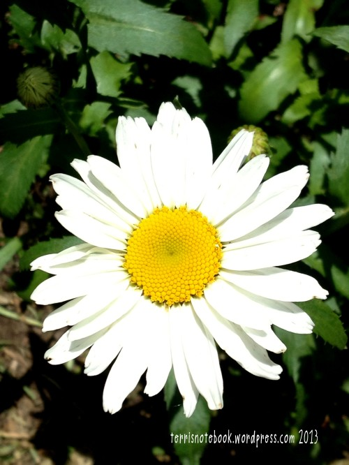 June daisy