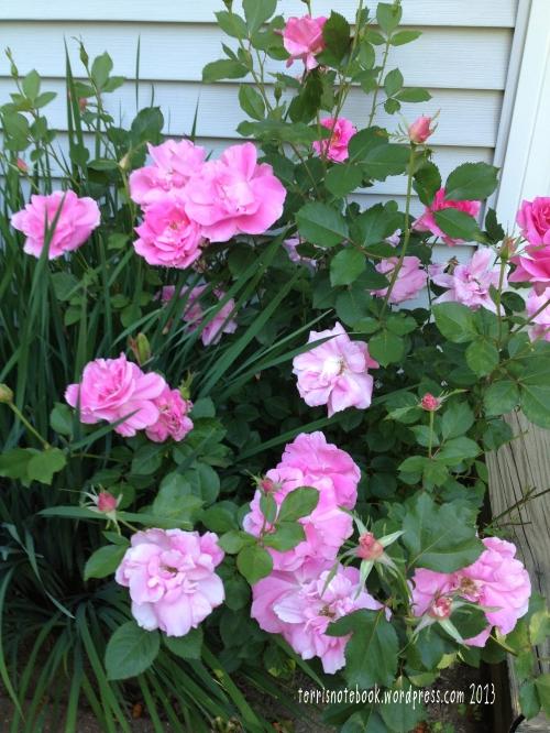 June-pinkroses