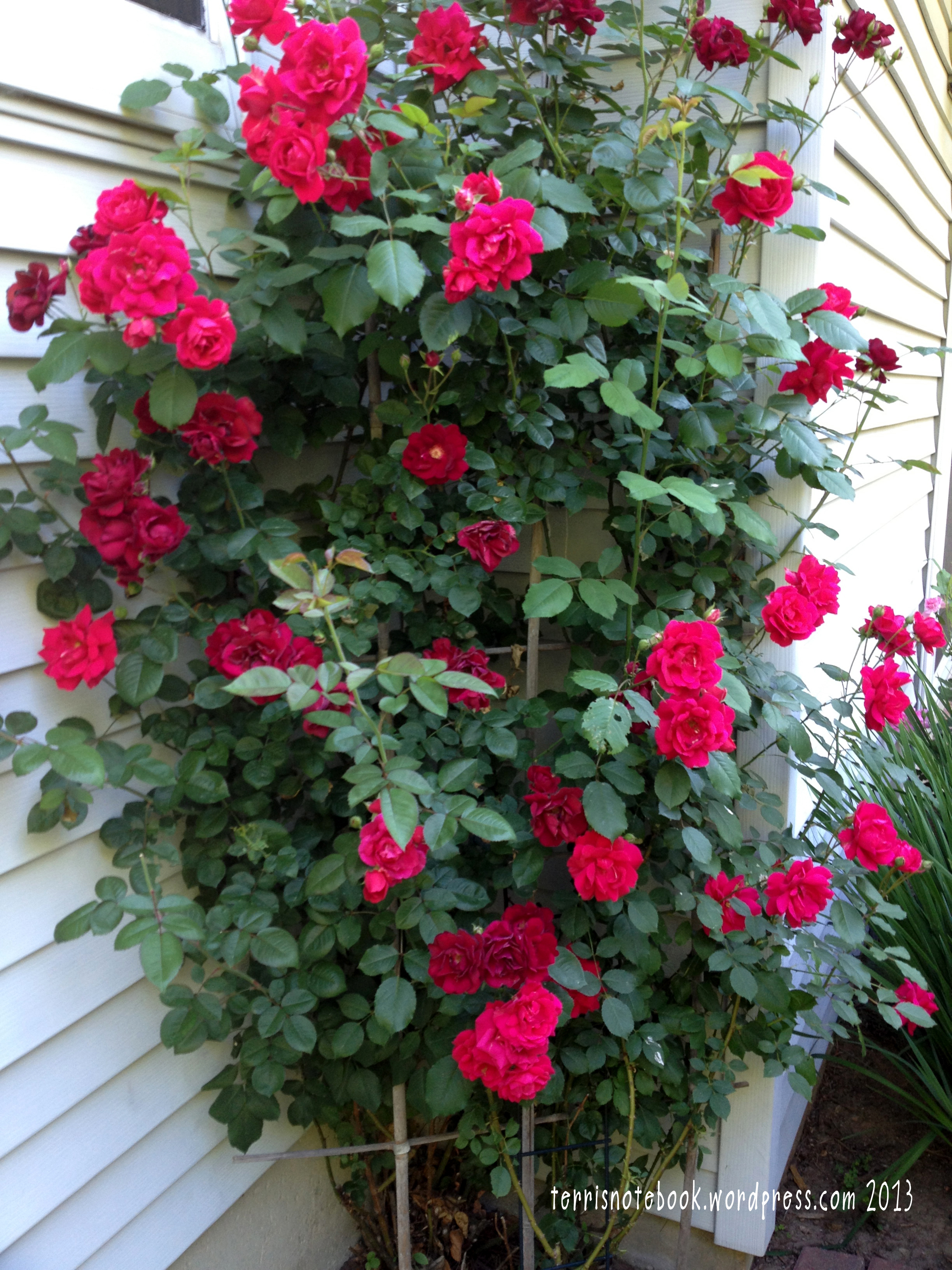 june red roses - Most Beautiful Rose Gardens In The World