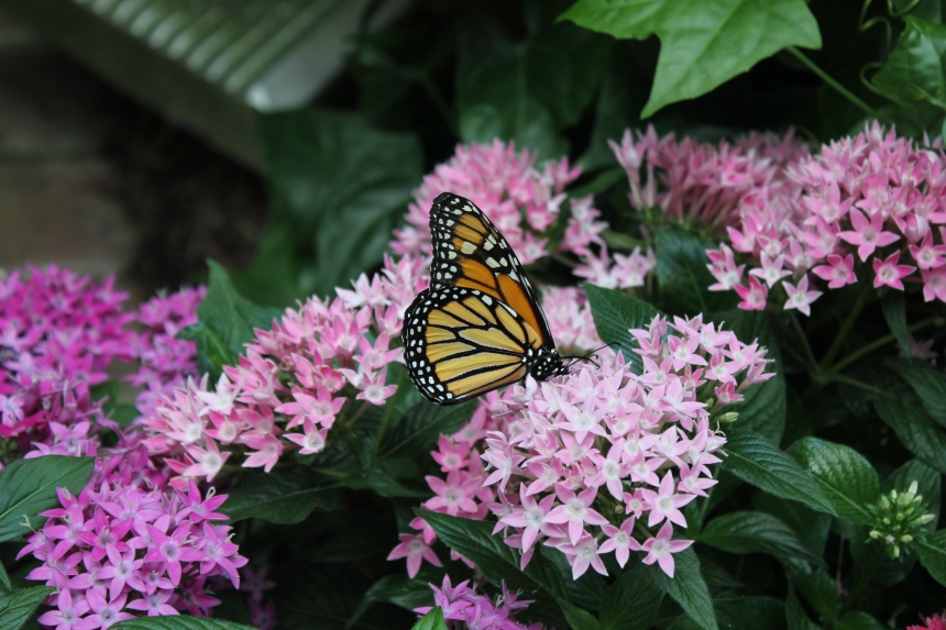 monarch wings up