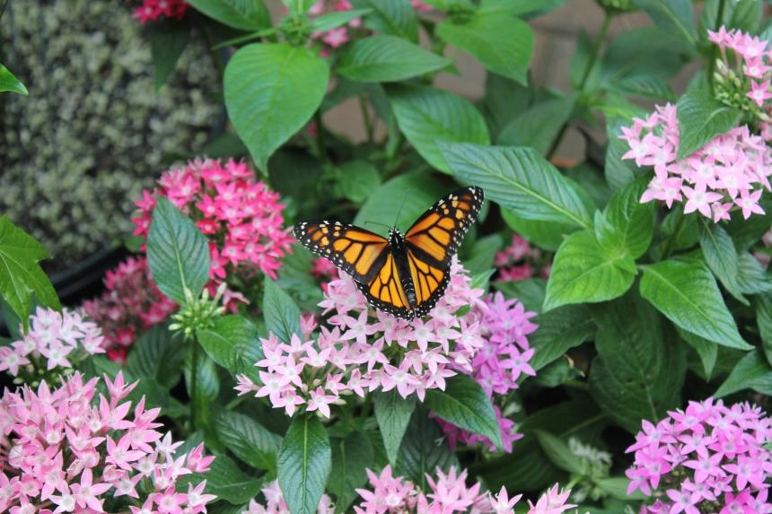 monarch wings open