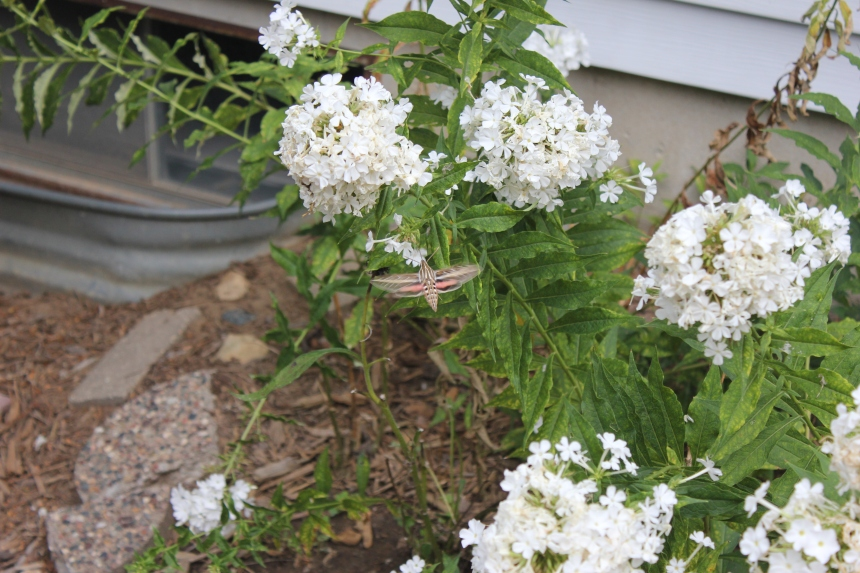 huge insect on phlox flowers