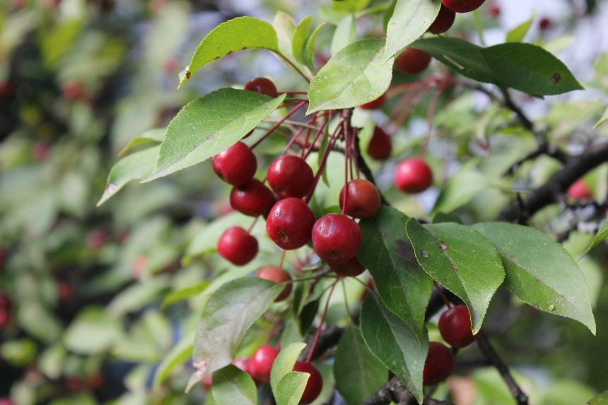 large red berries