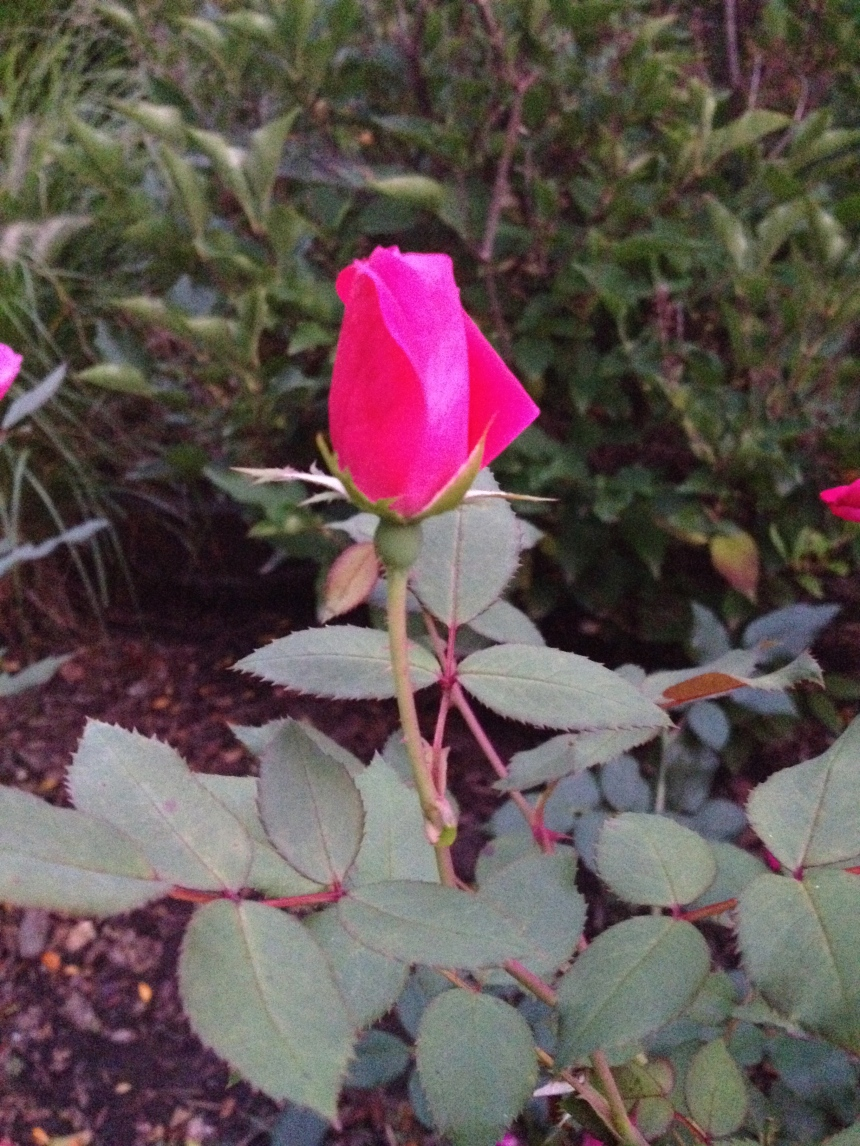 early fall rosebud