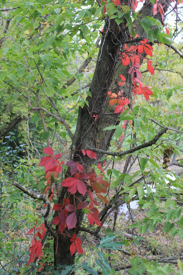 red leaves climbing