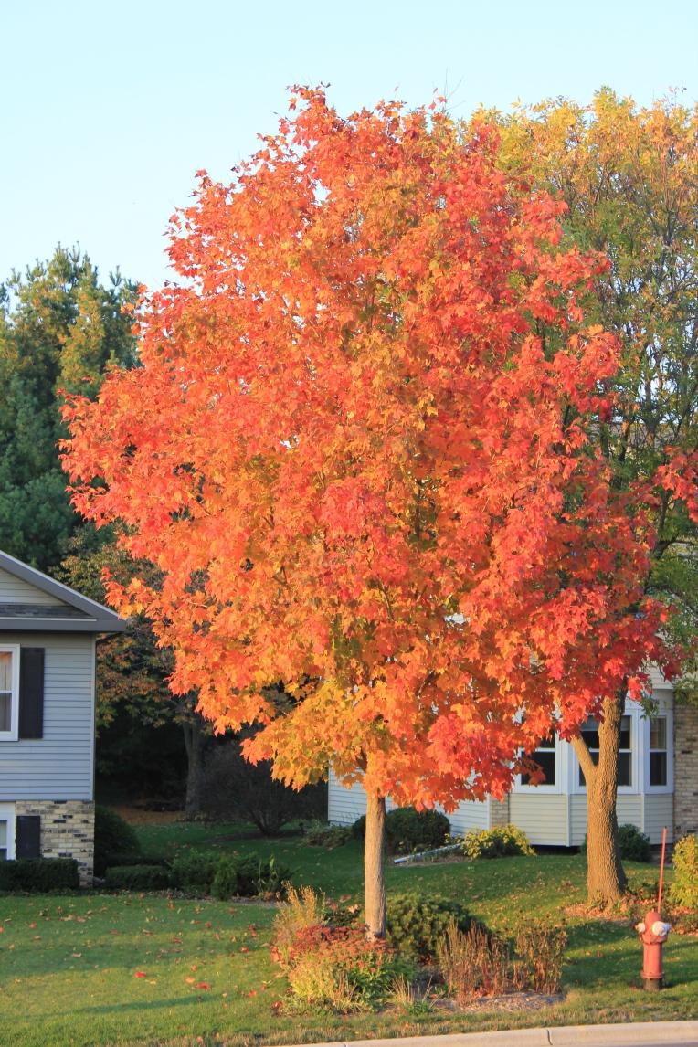 neighbors maple tree
