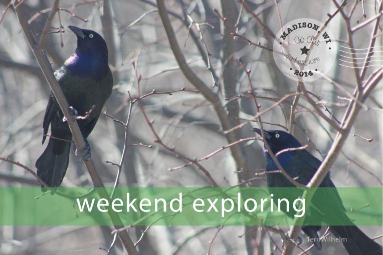 Weekend Postcard grackles
