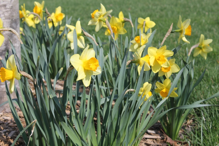 spring is daffodils