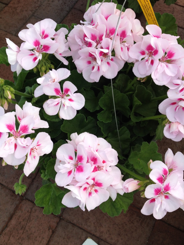 early geraniums
