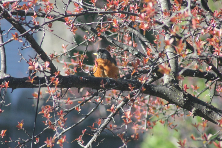 robin and tree buds