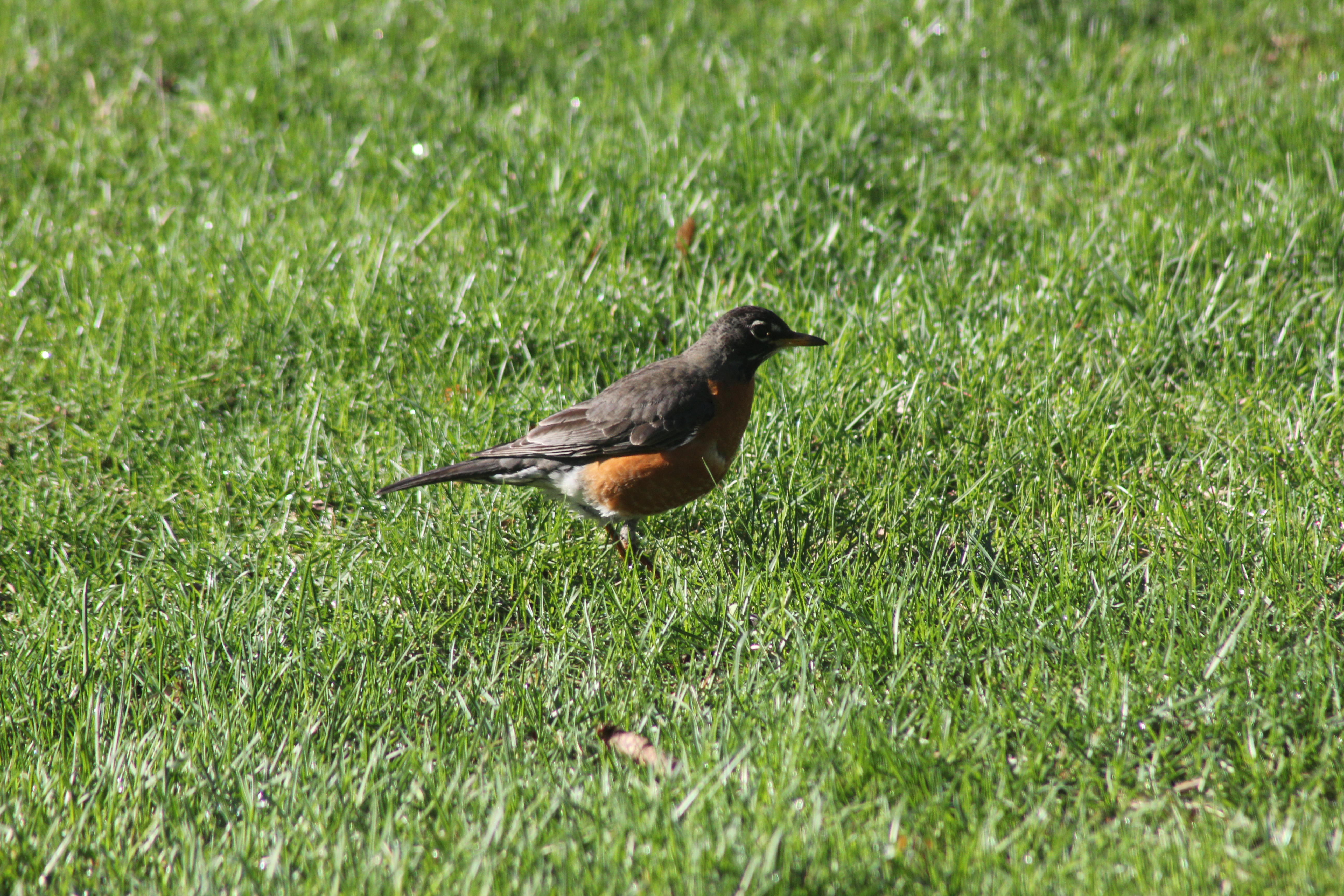 robin combing the grass