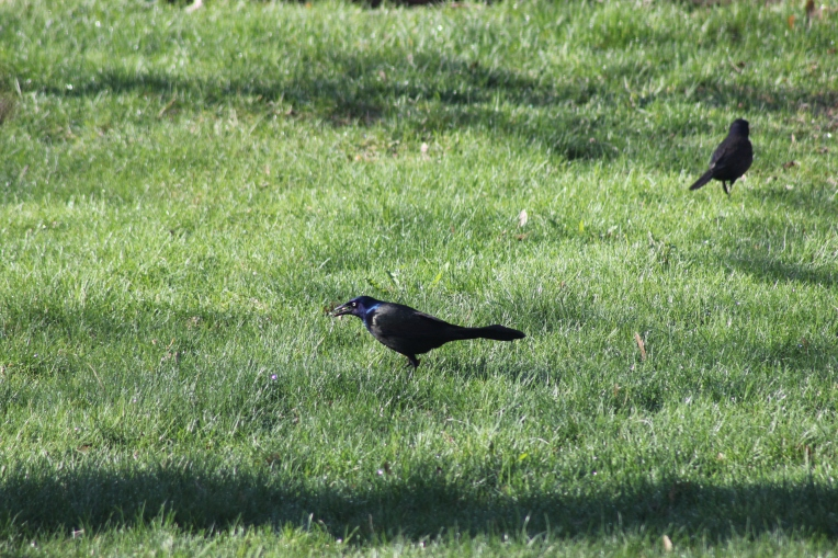 grackles combing the grass
