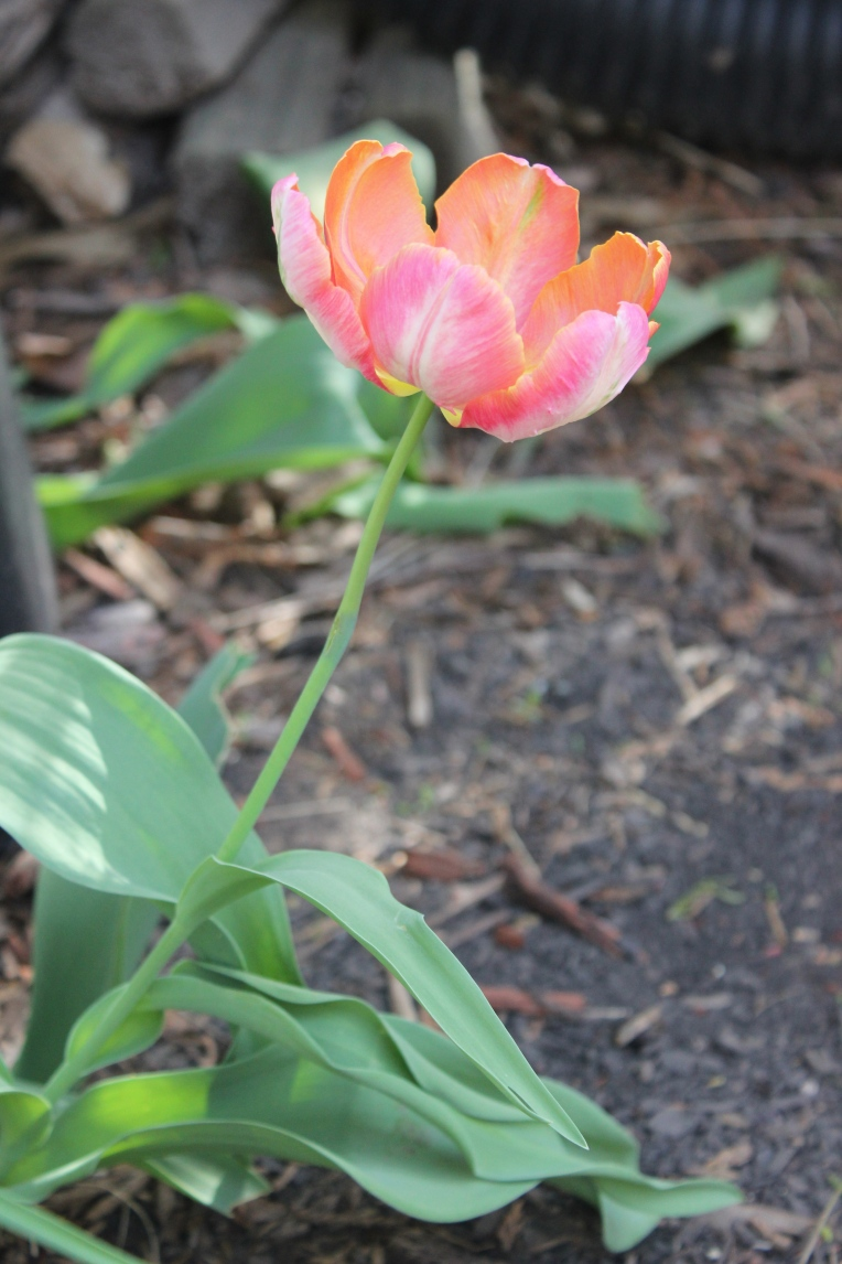 ruffly pink tulip
