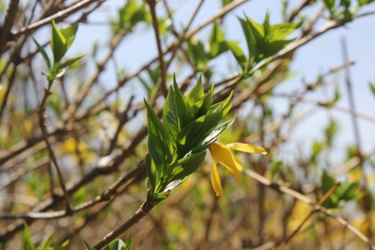 buds on shrubs