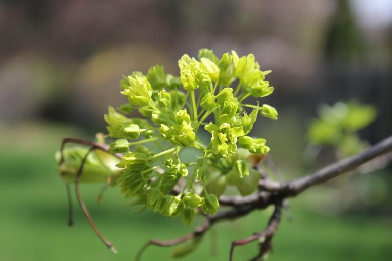 buds on maple tree