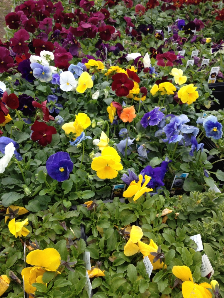pansies at garden center