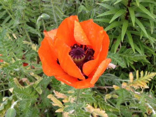 poppy in Door County