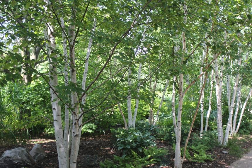 olbrich birch forest