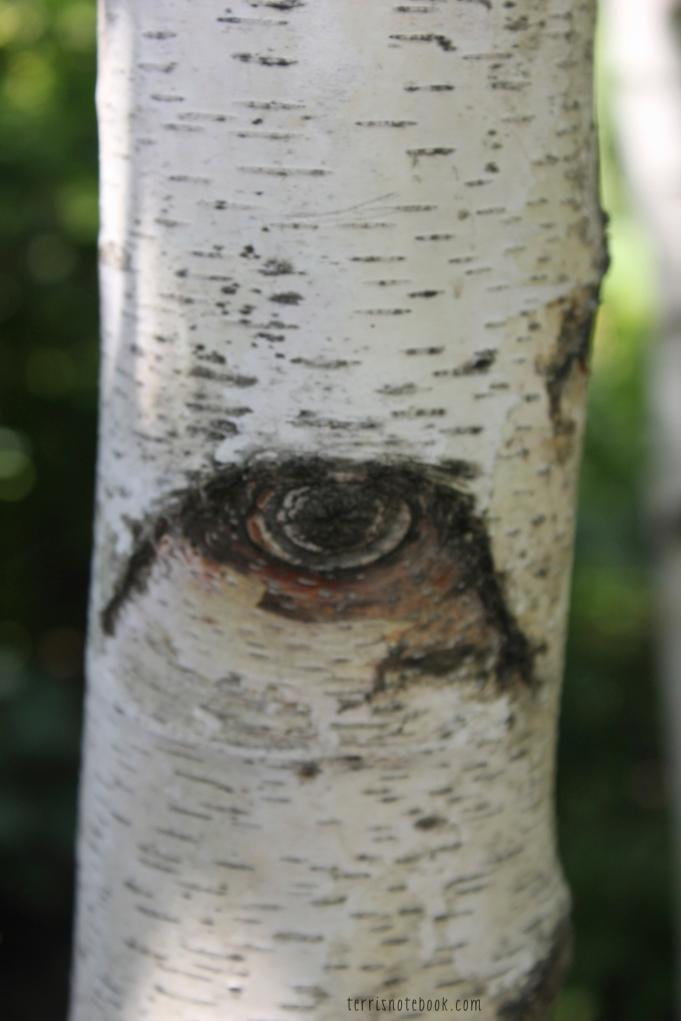 birch eye